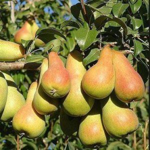foto frutti dell'albero pero-abate-fetel
