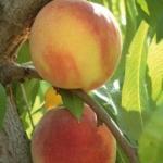 foto frutti dell'albero pesco-spring-cres