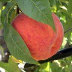 Pesco glohaven_piante da frutto in vendita online