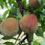 Pesco sanguinella piante da frutto in vendita online