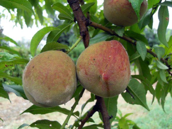 foto frutti Pesco sanguinella