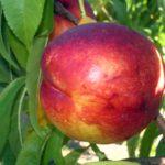 png_max_7 piante da frutto in vendita online