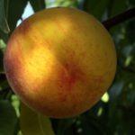 pp_babygold6_piante da frutto in vendita online