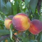 pesco cotogna Ceccarelli piante da frutto in vendita online