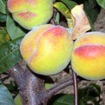 pp_percoca_romagnola_3 piante da frutto in vendita online