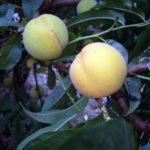 percoca_romagnola_ piante da frutto in vendita online