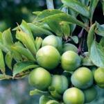 regina-claudia-verde susino Dalmonte Anticopomario piante da frutto online albero di susine pianta di