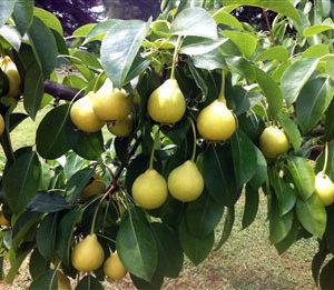 moscatellina piante da frutto online albero di pere pianta di pere antiche