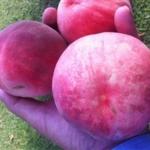 Pesco cesarini piante da frutto in vendita online