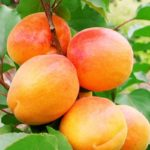 san-castrese Dalmonte Anticopomario piante da frutto online albicocche pianta di albicocche antiche