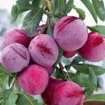 santa-rosa Dalmonte Anticopomario piante da frutto online
