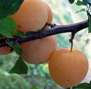 susino bianca di milano Anticopomario piante da frutto online-1