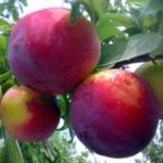 susino-fortune Dalmonte Anticopomario piante da frutto online