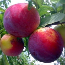 foto frutto susino-fortune