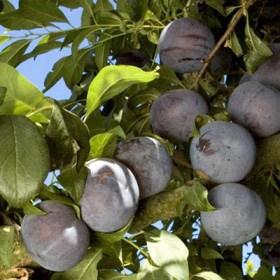 foto frutto susino-friar.