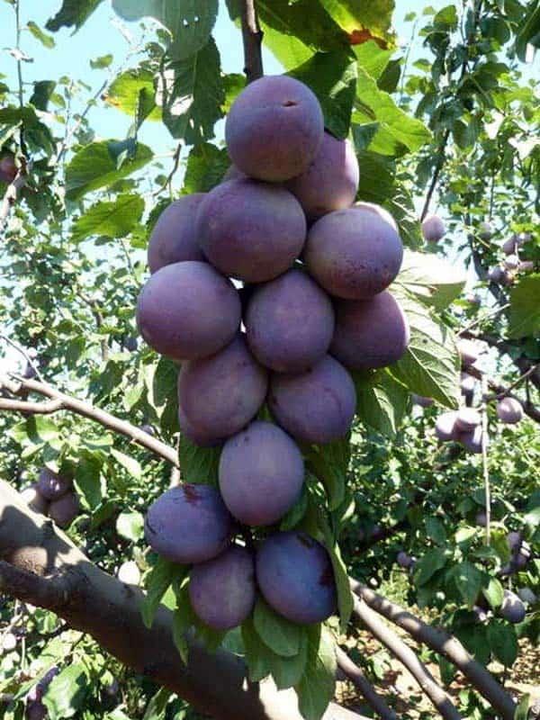 Foto frutto susino grossa di felisio