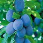 susino-stanley- susino Dalmonte Anticopomario piante da frutto online albero di susine pianta di 1