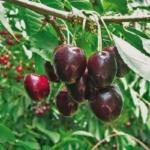 Ciliegio Kordia AnticoPomario Dalmonte albero di pianta