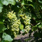 12.Uva Famoso Uva da vino Barbatelle AnticoPomario Dalmonte vivai viti