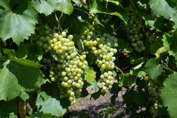foto dei frutti delle barbatelle di vite Uva Famoso Uva da vin