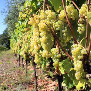 foto dei frutti della viteda vino bianca rebbiano Modenese