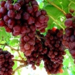 foto dei grappoli d'uva Red flame