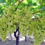 Afrodite Uva da tavola bianca Barbatelle AnticoPomario Dalmonte vivai viti