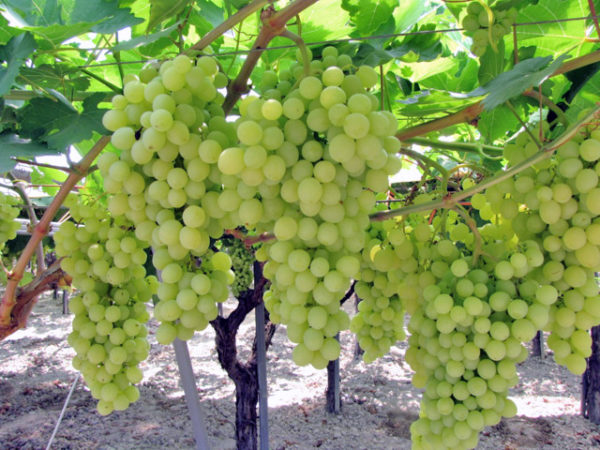 foto dei grappoli d'uva Afrodite Uva da tavola bianca