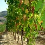 Albana 1 Uva da vino Barbatelle AnticoPomario Dalmonte vivai viti