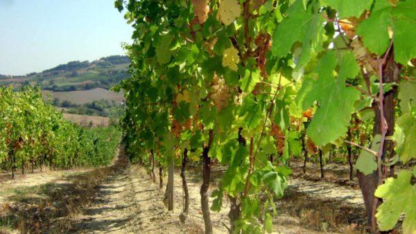 foto dei frutti delle barbatelle di vite Albana 1 Uva da vino