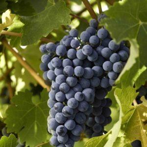 foto dei grappoli d'uva Cabernet