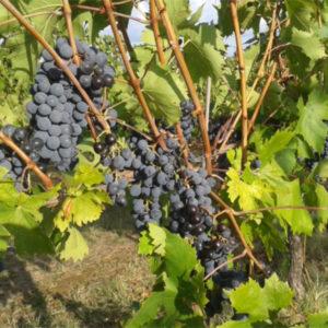 foto dei grappoli d'uva Centesimino