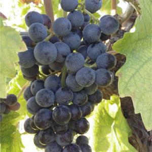 foto dei grappoli d'uva Centesimino-di-Romagna
