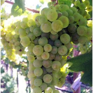 foto dei frutti delle barbatelle di vite Chardonnay