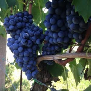 foto dei grappoli d'uva Ciliegiolo Barbatelle