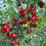 Cornioli albero di cornioli in vendita online su anticopomario