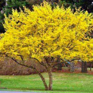 Foto di albero di cornioli in fiori gialli