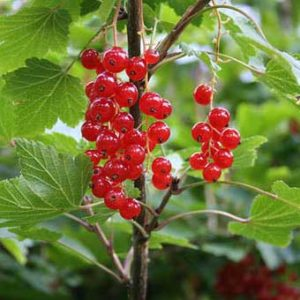 foto frutti della pianta di ribes Rolan