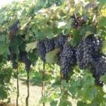 Fortana 1 Uva da vino Barbatelle AnticoPomario Dalmonte vivai viti