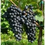 Fortana Uva da vino rossa Barbatelle AnticoPomario Dalmonte vivai viti