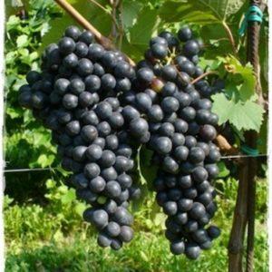 foto dei frutti delle barbatelle di vite Fortana Uva da vino rossa