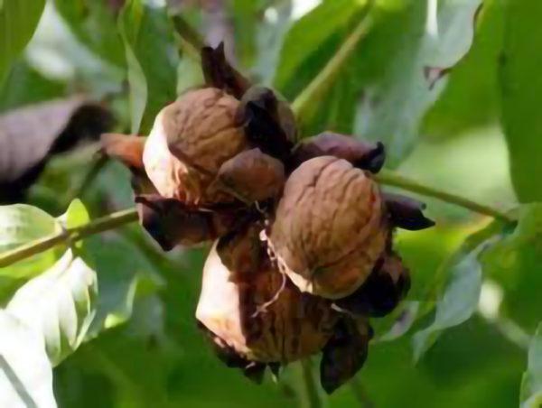 Foto frutta Franquette noce