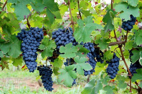 foto dei grappoli d'uva da tavola MOSCATO D'AMBURGO