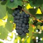 Lambrusco Salamino 1 Uva da vino rossa Barbatelle AnticoPomario Dalmonte vivai viti