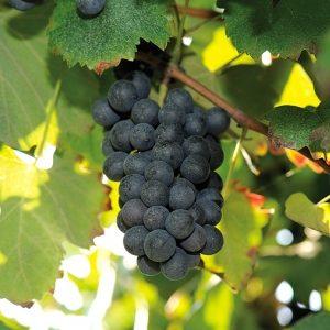 foto dei frutti delle barbatelle di vite Lambrusco Salamino 1 Uva da vino rossa