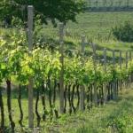 Lanzesa Uva da vino Barbatelle AnticoPomario Dalmonte vivai viti