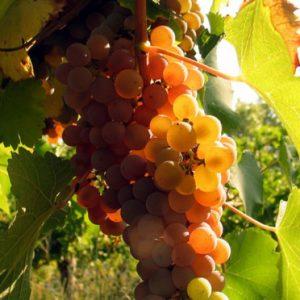 foto dei frutti delle barbatelle di vite Malvasia Bianca Di Candia