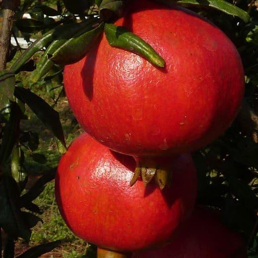 foto frutti dell'albero Melagrano acco