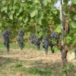 Merlese Uva da vino rossa Barbatelle AnticoPomario Dalmonte vivai viti