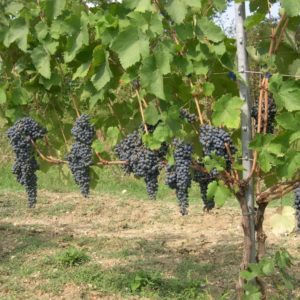 foto dei grappoli d'uva Merlese